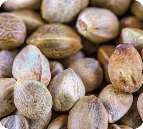 B-Grade Seeds