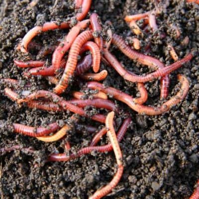 SUPER SOIL WORMS