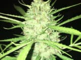 WHITE WIDOW – Photoperiod – Feminized   (EASY TO GROW!)